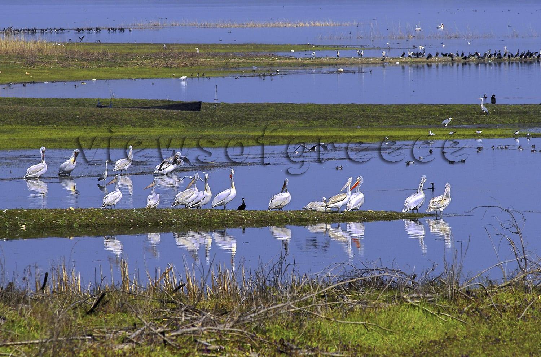 Greece, lake kerkini, wildlife, , birdwatching, , ecology, pelican, buffalo, birds, Λίμνη Κερκίνη, νομός Σερρών, Εθνικό Πάρκο