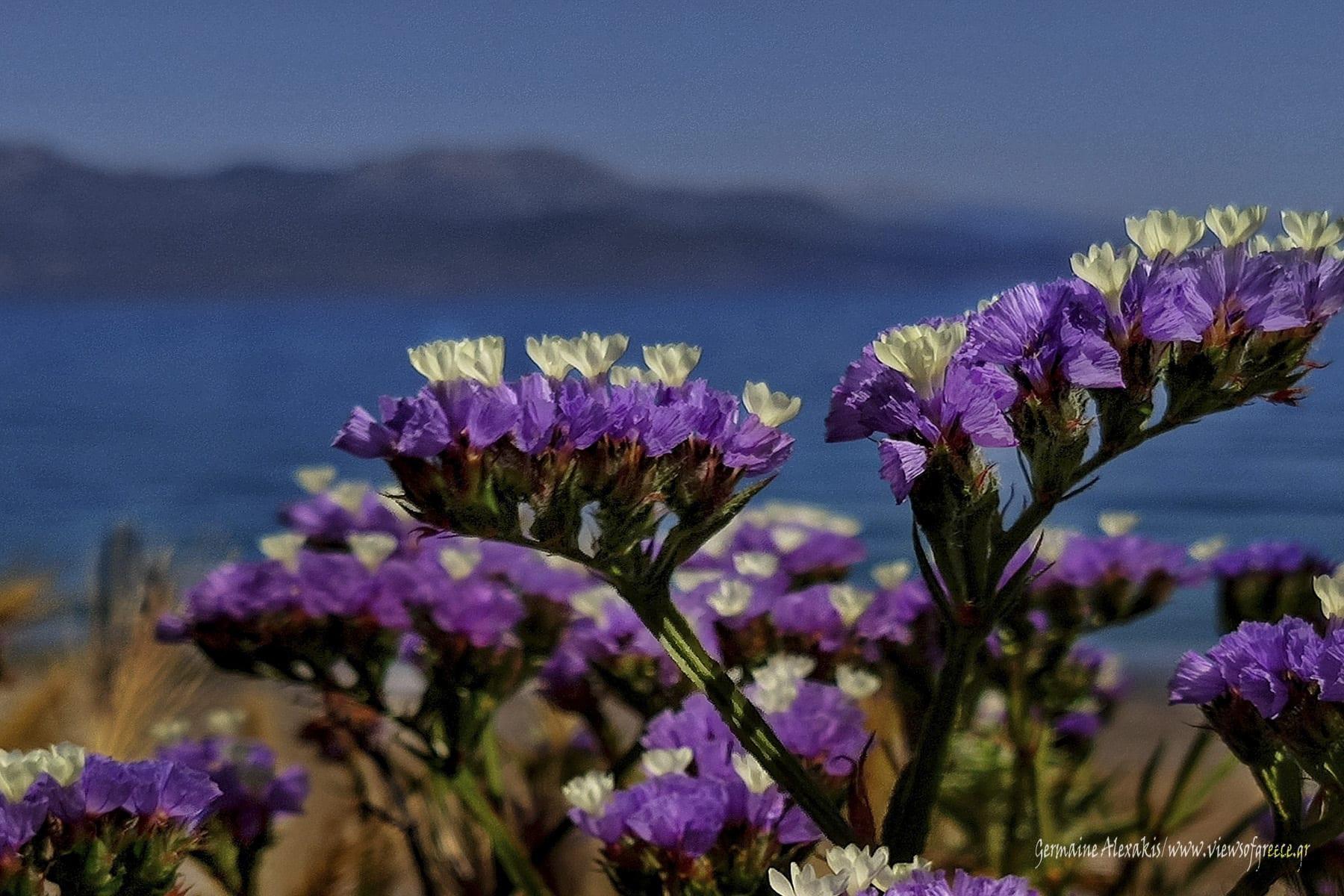 greek , flora, discovergreece, plants, Αμάραντα, flowers, immortal, limonium, bythesea, bytheseaside, purple, endurance, immortelle, everlasting, unfaded, flower, sea, closeup, closeupshot, photography, αμάραντο, Ελληνική χλωρίδα,