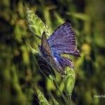 """Πεταλούδα """"Maculinea arion"""",  μια συμβιωτική σχέση…"""