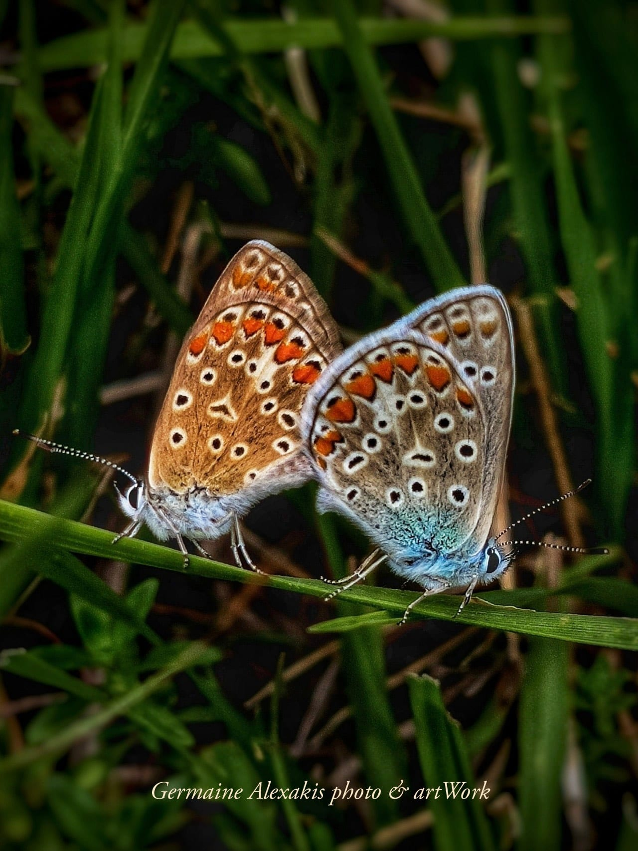 butterfly , two , butterflies, mating , love, together, insects, closeup, photography, greek, nature, commonblue, polyommatus, wondersofnature, uniquemoment, zoom,