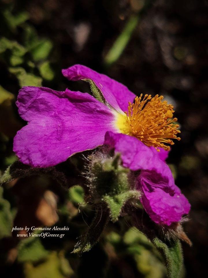 greek , flora , λαδανια , Κιστος , cistusIncanus , cistus, lovelyflower , wildflower, medicinal, herbs, plants, woodruff, plant, bush, λαδανιά,