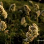 Dactylis glomerata, dactylis, Σαν φως…