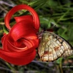 Lilium chalcedonicum,  the shape of Nature …