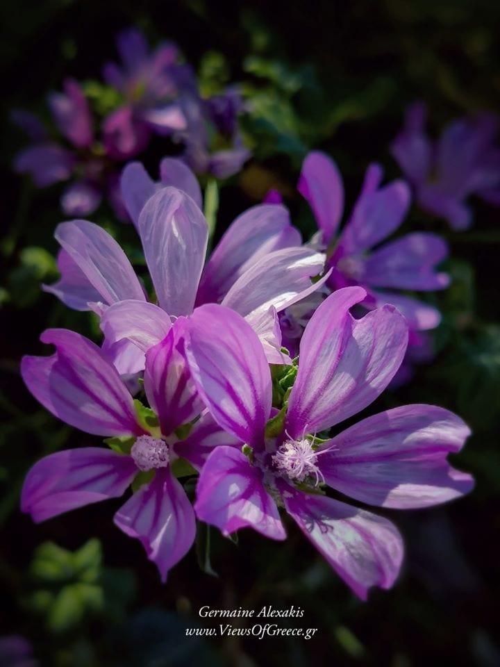 Greece, greek, flora, plants, flowers, protect nature, nature, Viewsofgreece, save greek Nature, Μολοχα, MalvaSylvestris. Χλωρίδα, Ιπποκράτης, θεραπευτικά φυτά,