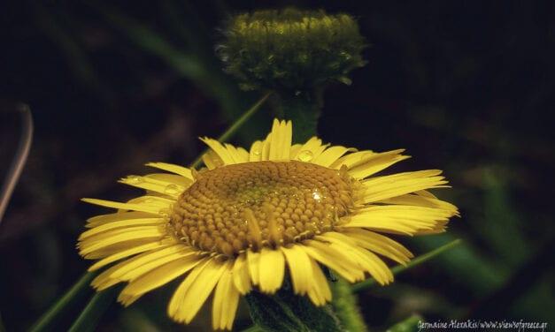 Pulicaria Dysenterica, μετά τη βροχή…