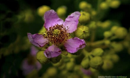 Rubus fruticosus, βγαίνοντας στο φως…
