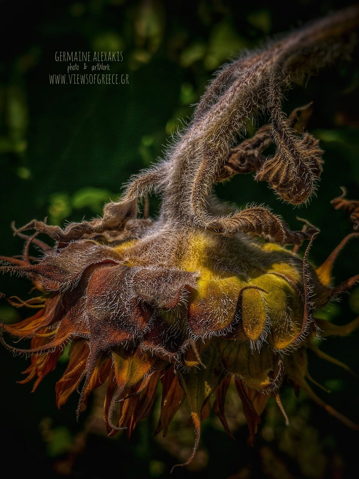 Sunflower, Greek, nature, wild, savenature, nevergiveup, macro, closeup, photography, Exploregreeknature, plants, flower, yellow, discouraged, bended flower, withered flower, ηλίανθος, ηλιοτρόπιο,