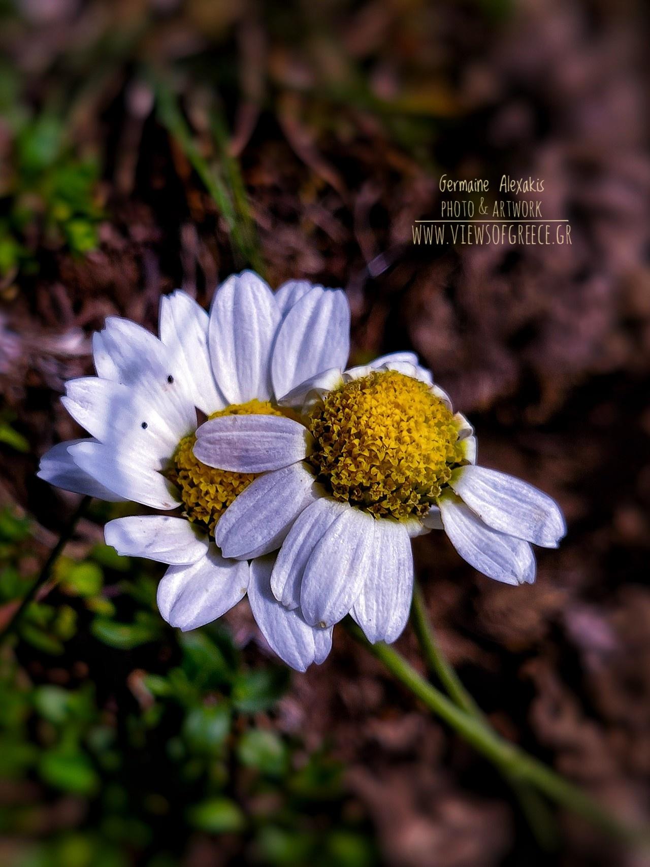 Greek flora, wild flowers, macro, anacyclus, daisies, μαργαρίτες