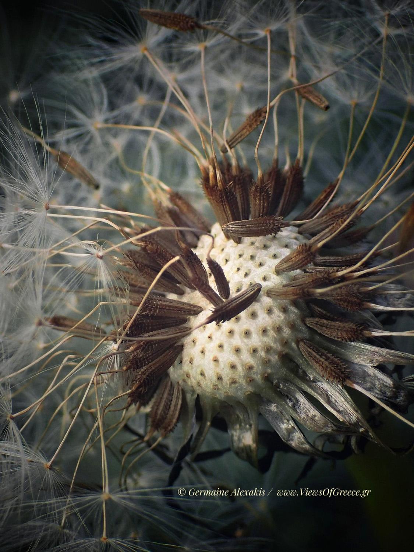 Greek flora, wild flowers, macro, dandelion, ταραξάκος