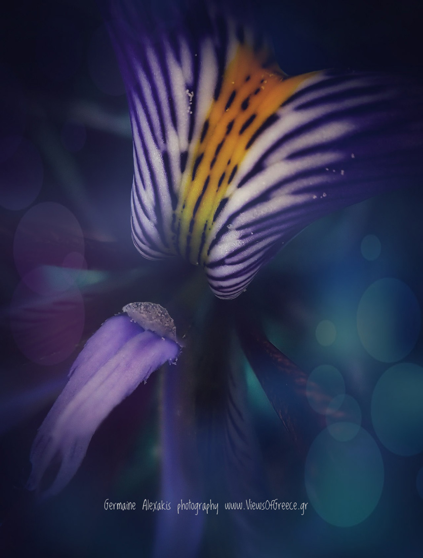 Greek flora, wild flowers, macro, iris cretensis, Ιρις