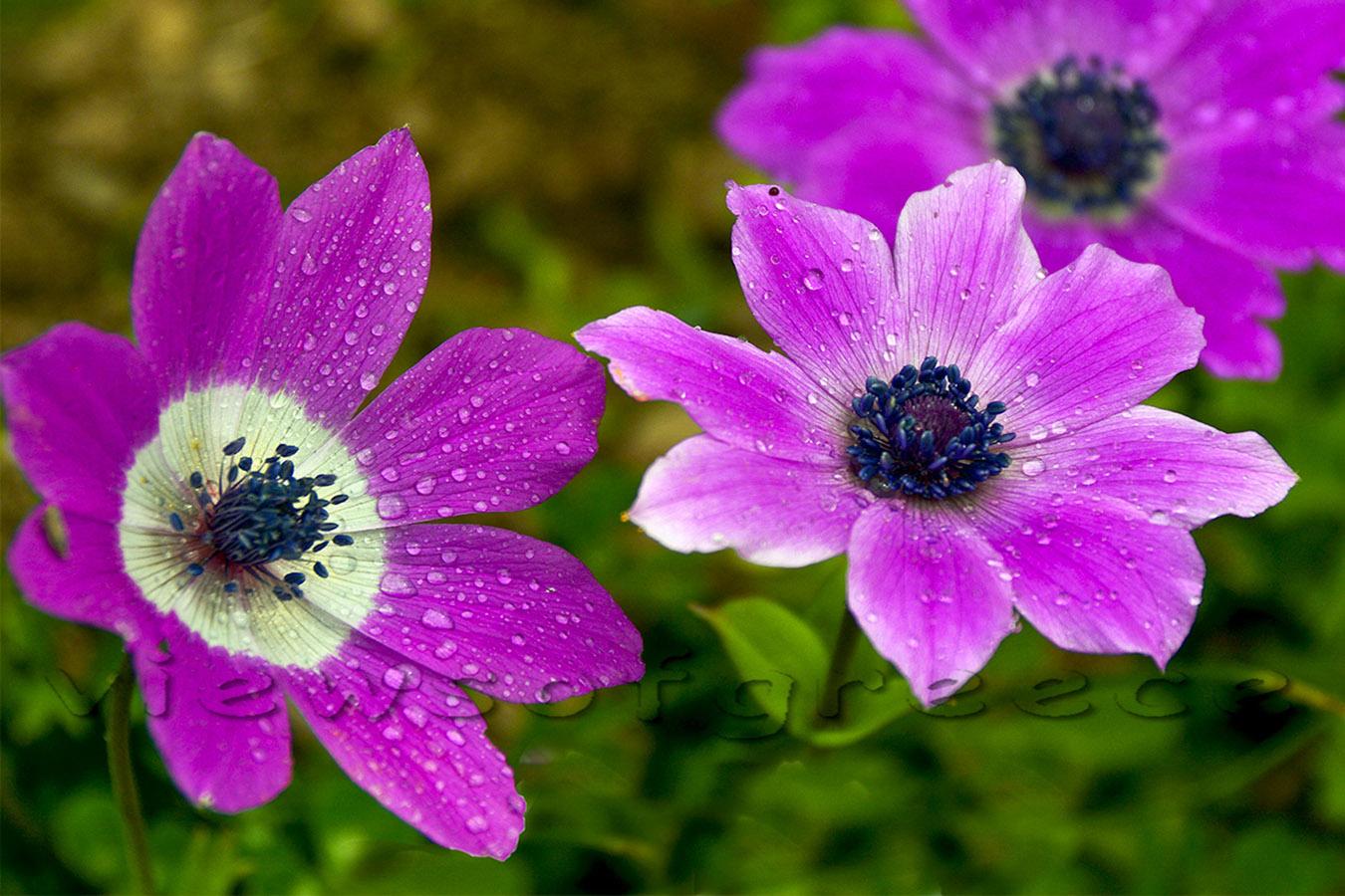 Anemone kori tou anemou