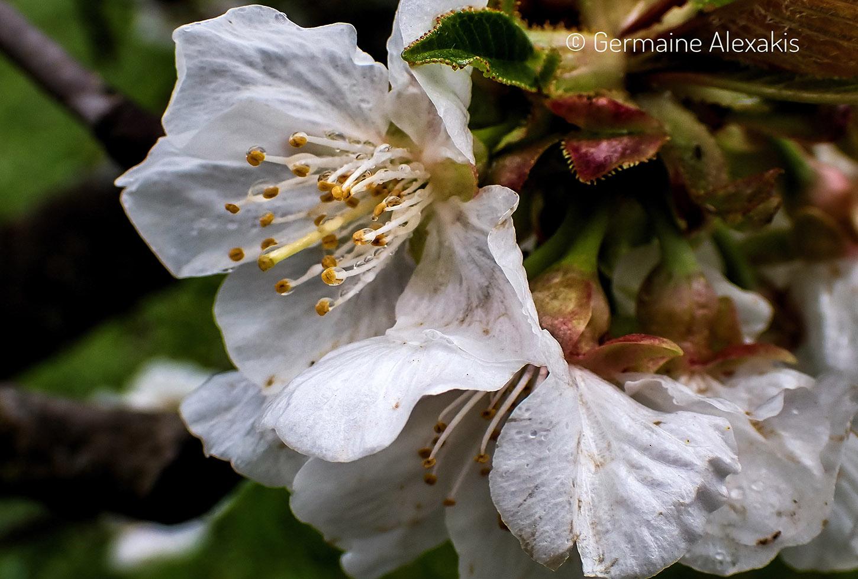 Prunus avia, κερασιά, greek flora, cherry tree, blossom, fruit trees