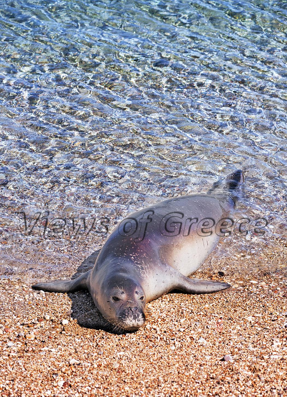 φώκια Monachus monachus , Eθνικό Πάρκο Β. Σποράδων, seal, National park Sporades, Αλόννησος