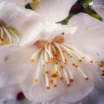 Οι κερασιές ανθίζουν…