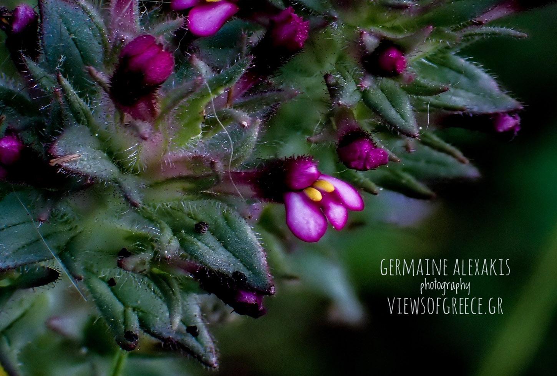 Parentucellia Latiforia, παρεντουκέλια, greek flora, wild nature , wild flowers