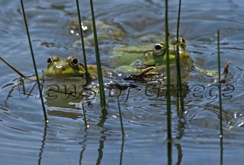 βάτραχος, λιμνούλα, άγρια φύση, frog