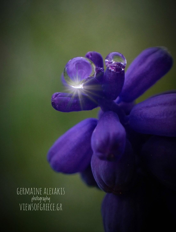 Muscari neglectum, Μούσκαρι, greek flora,  wild nature , wild flowers