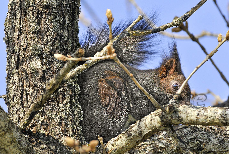 ΔΙΡΦΗ-ΧΛΩΡΙΔΑ-ΠΑΝΙΔΑ.-Σκίουρος-σε-δρυοδάσος